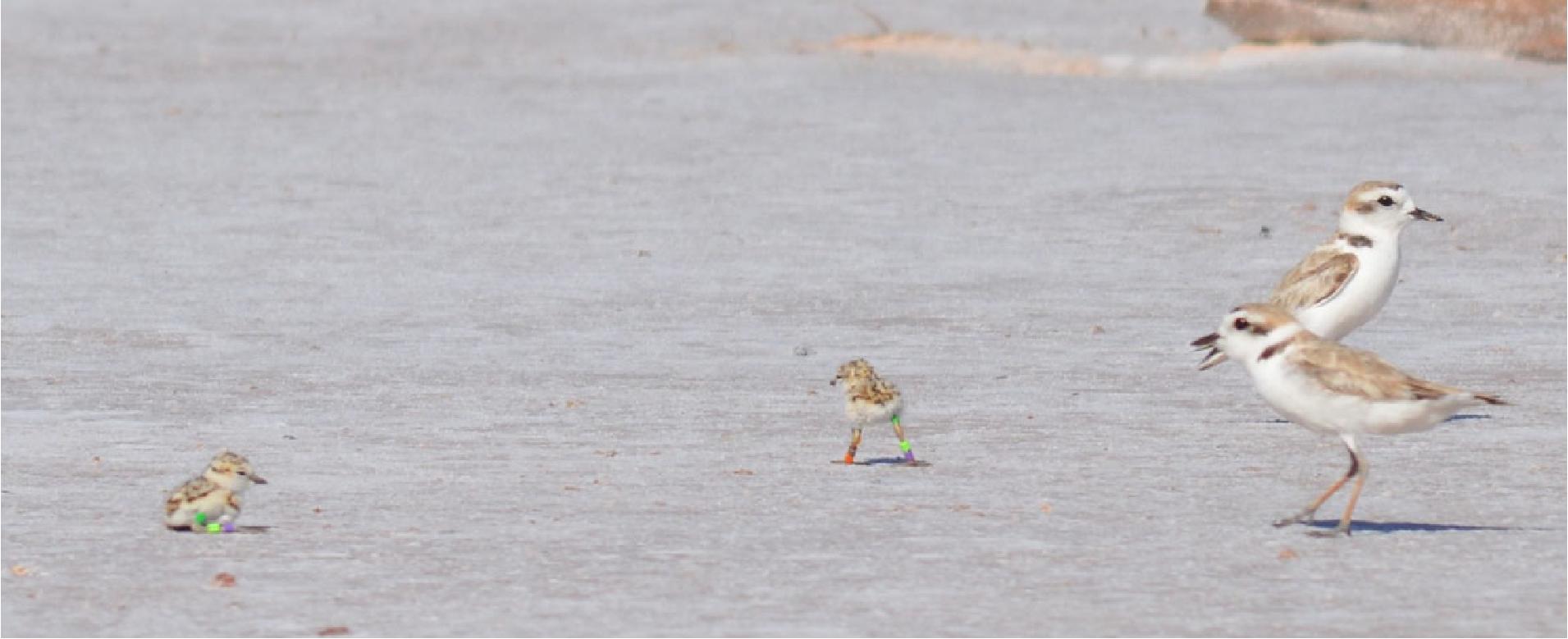 Photo: Snowy Plovers and chicks at Salt Plain National Wildlife Refuge (credit: Glen Hensley;https://whsrn.org/whsrn_sites/salt-plains-nwr/).